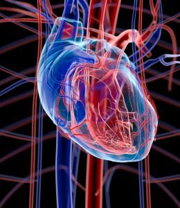 Bayer2109_human_heart